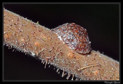 Cochenille (Eulecanium sp.)