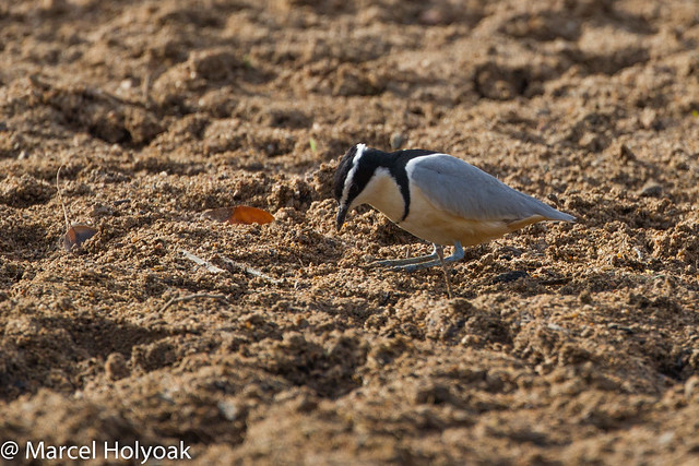 Plovers and crocodiles - photo#21