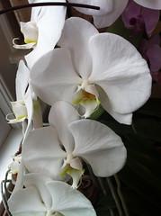 cattleya labiata(0.0), cattleya trianae(0.0), flower(1.0), orchid family(1.0), phalaenopsis equestris(1.0), flora(1.0), petal(1.0),