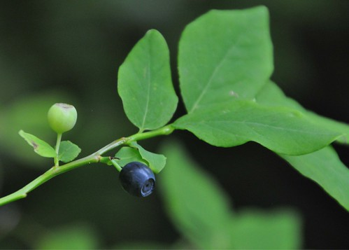 07-28-12 Wild Blueberry at Clearwater by roswellsgirl