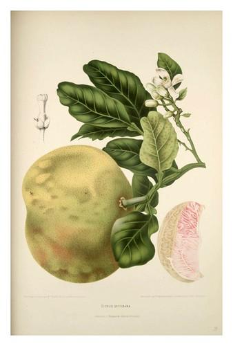 006-Pomelo silvestre-Fleurs, fruits et feuillages choisis de l'ille de Java-1880- Berthe Hoola van Nooten
