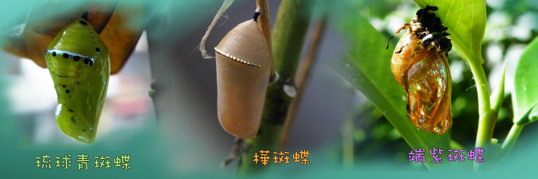 「吊蛹」的圖片搜尋結果