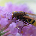 Large hoverfly Volucella zonaria on buddlia #1