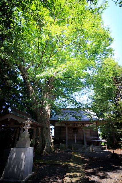#65 The Giant Zelkova of Kitanaka Hachimanguu