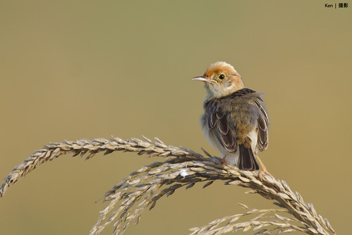 Bright-headed Cisticola #1