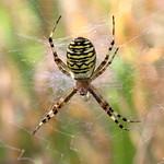 Wasp Spider 16-08-12-0001