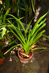 wanted this species for a while, Cymbidium roseum species orchid, repotted and put down in the yard  7-16