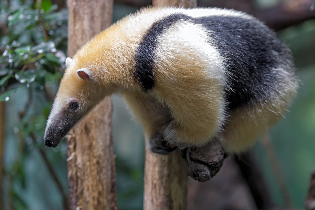 Tamandua on the branch