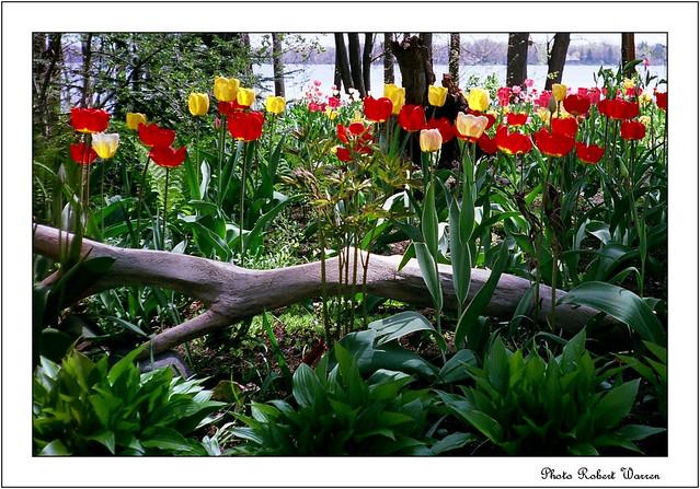 Tulipes printempnières... (Argentique)/ Spring tulips...(film)