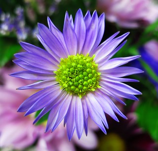 Thursday Flower / Purple Daisy