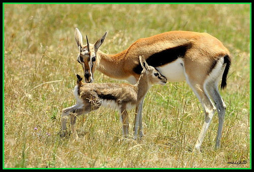 GAZELLE TENDERING ITS NEWLY BORN FAWN...