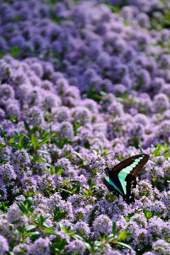 Graphium sarpedon and and purple flowers.