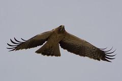 Águila calzada - Booted Eagle - Hieraaetus pennatus