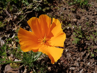 042212 California Poppy-2