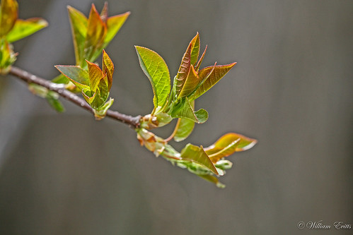 Chokecherry Leaves in Spring.