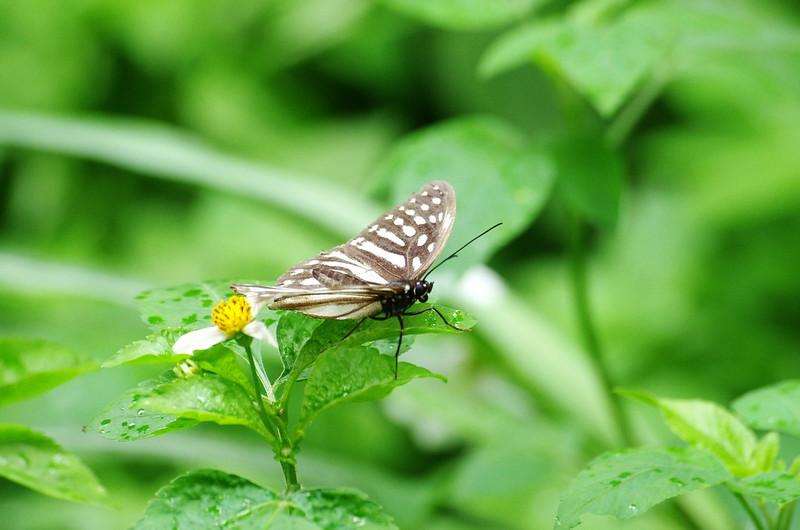 蝴蝶愛花粉