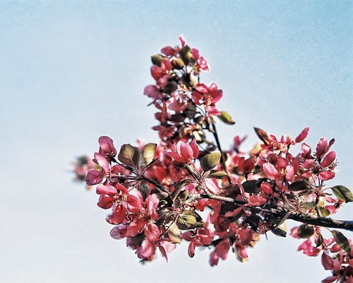 Blossoms by Alan Norsworthy