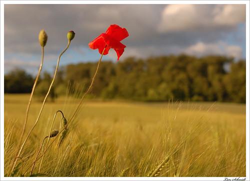 nature field clouds 35mm landscape tripod natur feld wolken poppy mm nikkor f18 35 landschaft dx mohn stativ afsdxnikkor35mmf18g