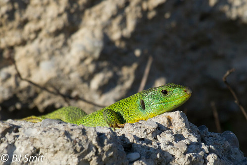 Balkan Green Lizard - Photo (c) Bart, all rights reserved