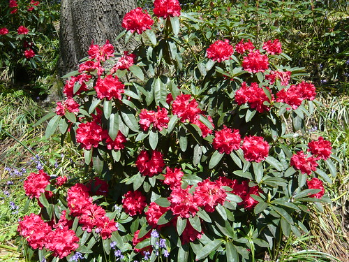 Himalayan garden Grewelthorpe Rhododendron