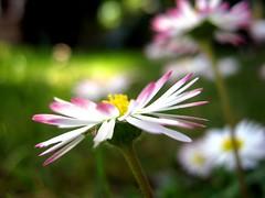 [フリー画像素材] 花・植物, ヒナギク・デイジー ID:201205180600