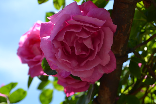 Rosa 'Climbing American Beauty'. Photo by Jean-Marc Grambert.