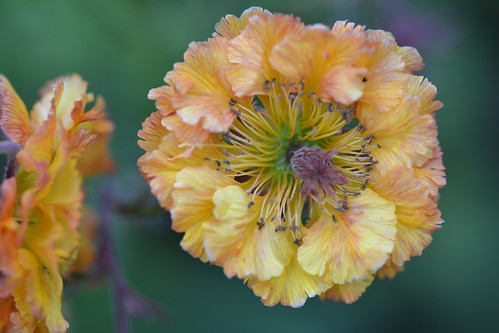 GEUM 'Golden Joy'
