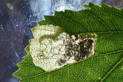 Eriocrania salopiella tenanted mine