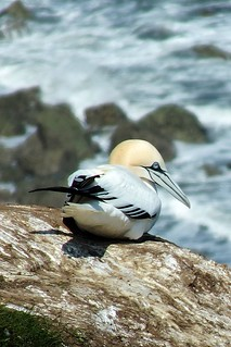 Gannet sitting pretty at Bempton Cliffs RSPB
