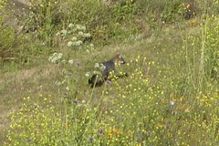 Red Fox in Big Sur