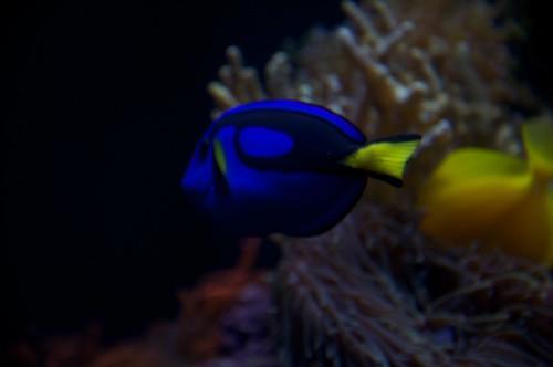 A blue tang
