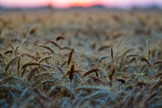 Wheaty sunrise