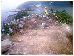 1010525(10點)紀錄影像傳回黑嘴端鳳頭燕鷗現身馬祖