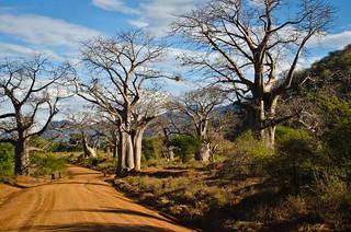 Burton-like Baobab