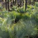 Forest of Palms - Bosque de Palmas; al sur de Zapotitlán Palmas, Región Mixteca, Oaxaca, Mexico por Lon&Queta