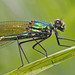 banded demoiselle - up close