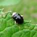 Small photo of Flea beetle (Galerucinae: Alticini)