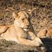 Lioness & cub by boodahjoomusic