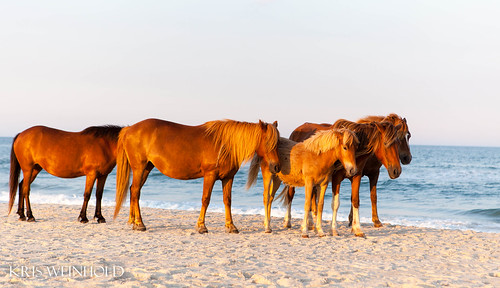 Ponies at Assateague Island