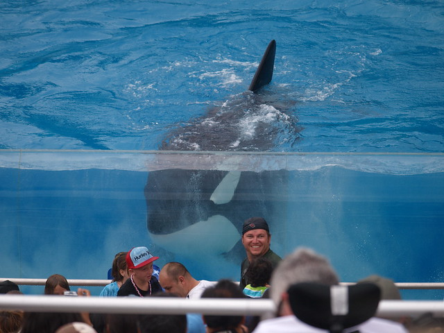 Orca at SeaWorld, San Diego