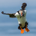 Puffin coming in to land by Paul Tymon