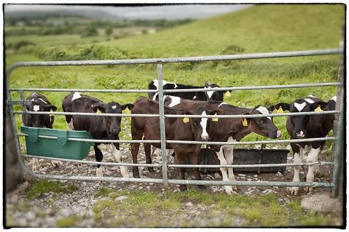 Dysert Cows