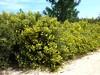 Sentier d'accès à la plage : cistes jaunes (hélianthèmes à feuilles d'arroche) en pagaille
