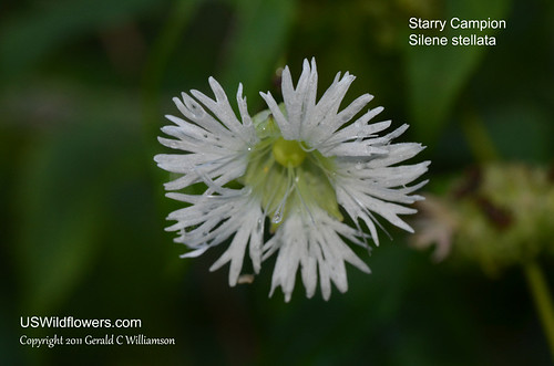 Starry Campion, Widow's Frill - Silene stellata