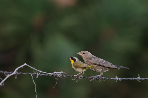 Confused Yellow-throat_0756.jpg