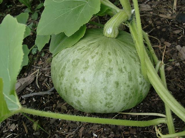 Casper Pumpkin (looks a bit different)