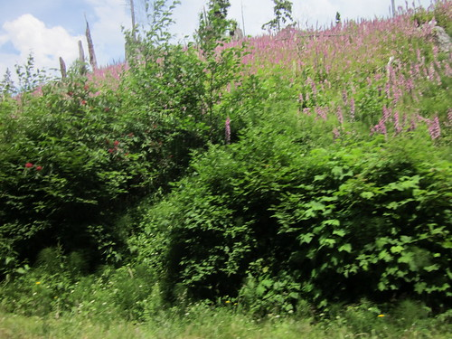 Foxglove growing in a clearcut