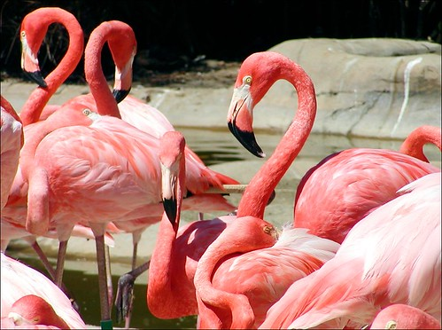 fainting flamingos