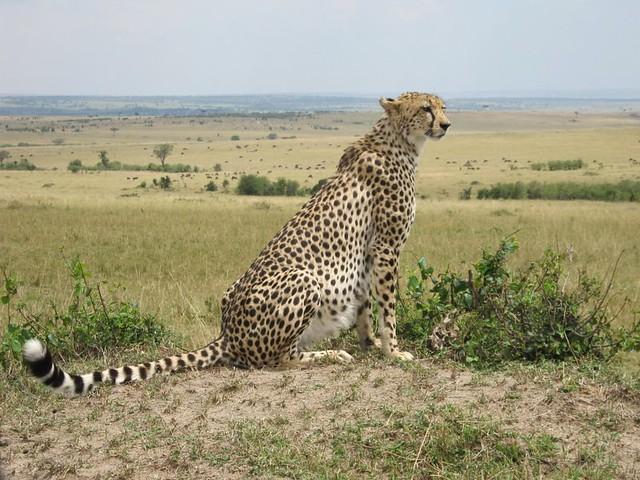 Cheetah sitting down drawing - photo#53