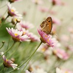 Rosy Butterfly